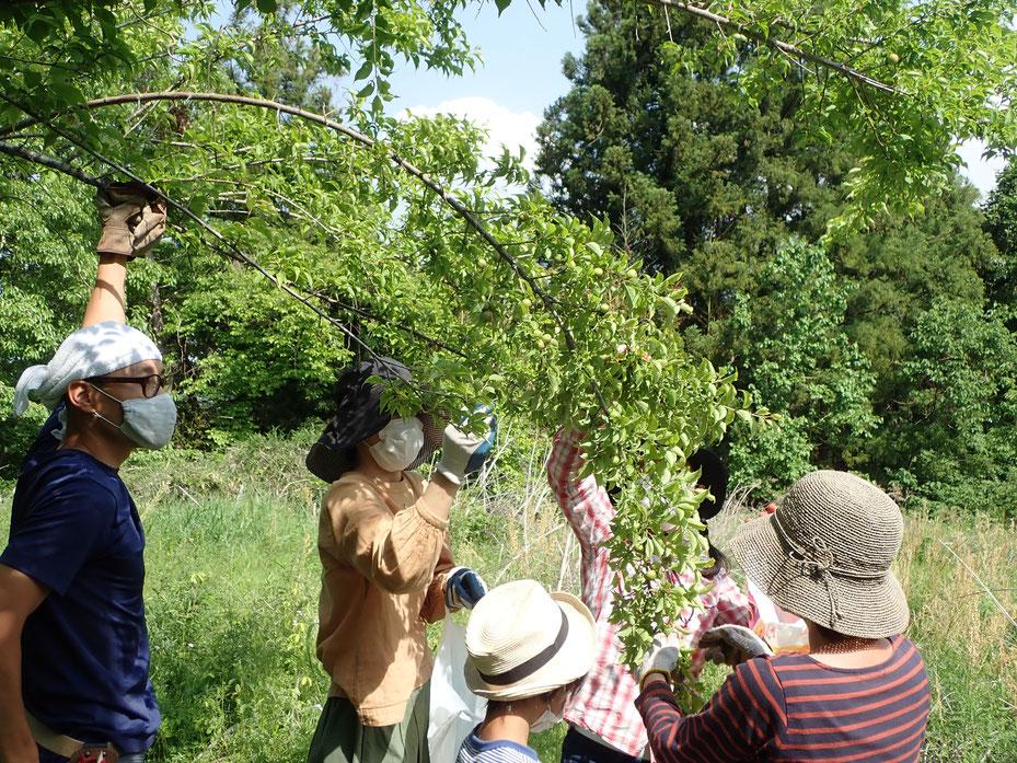 無農薬栽培の梅の収穫・農業体験の「さとやま農学校」