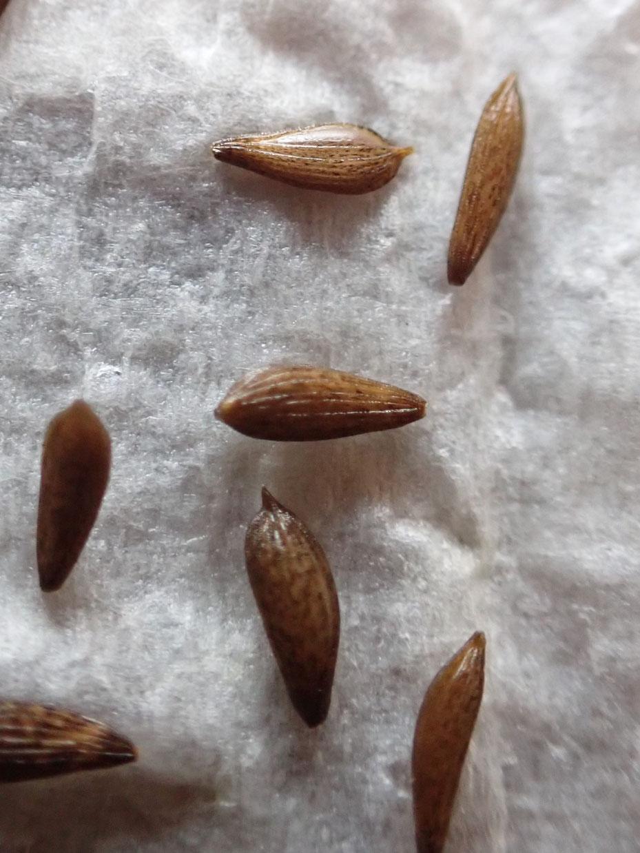 無農薬栽培の野菜の種の芽出し@さとやま農学校