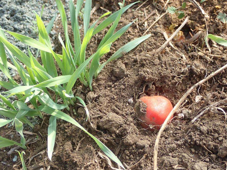 自然栽培のトマト 自然栽培 固定種 農業体験首都圏 体験農場首都圏 野菜作り教室首都圏  さとやま農学校 無農薬栽培 種取り