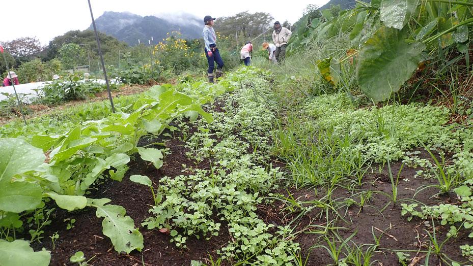 ハコベは、自然農にとって大事なリビングマルチ@さとやま農学校・すどう農園