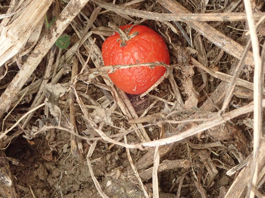 無農薬自然栽培のトマト。完熟して落ちて冬を越してもまだ姿を変えません。