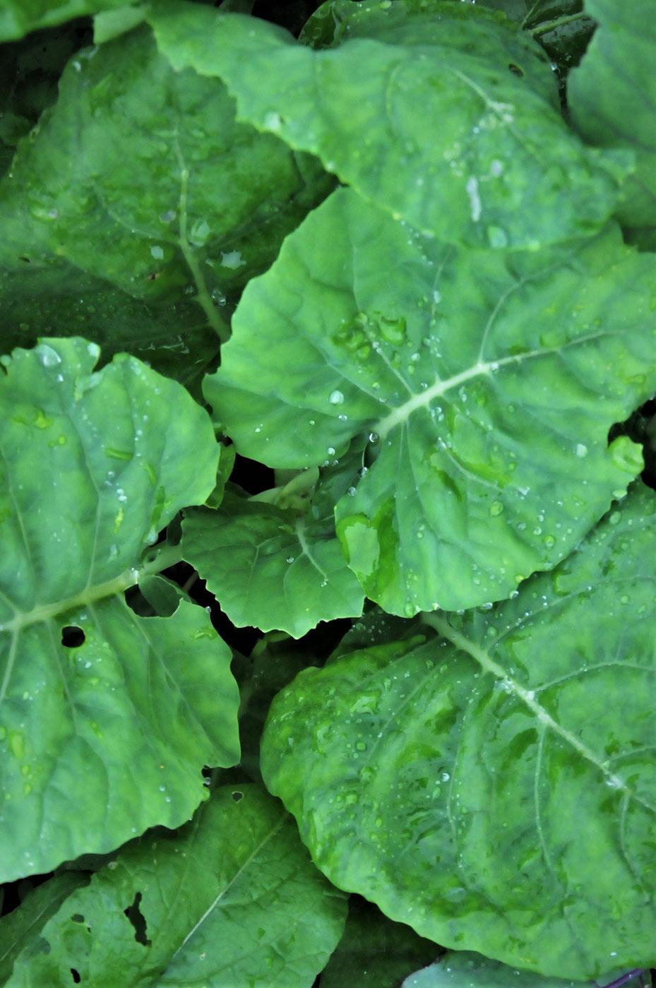 固定種のコラードの無農薬栽培を農業体験できる「さとやま農学校」は神奈川の体験農場で、種取りも学べます。
