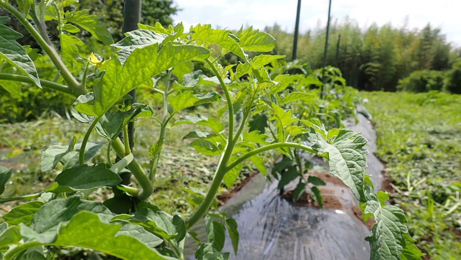 自然栽培のトマト栽培@すどう農園