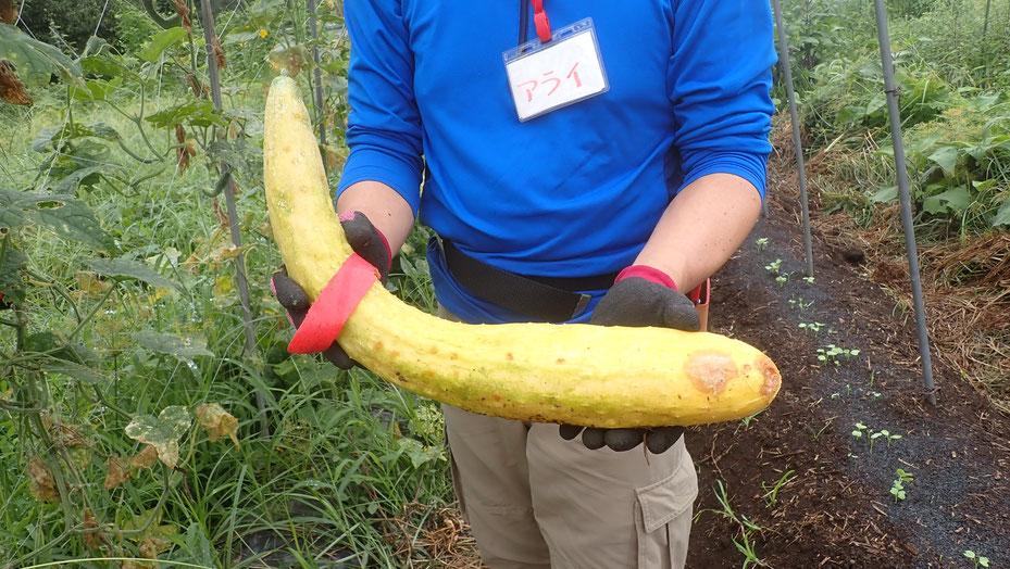 自然農のキュウリの種取り@さとやま農学校