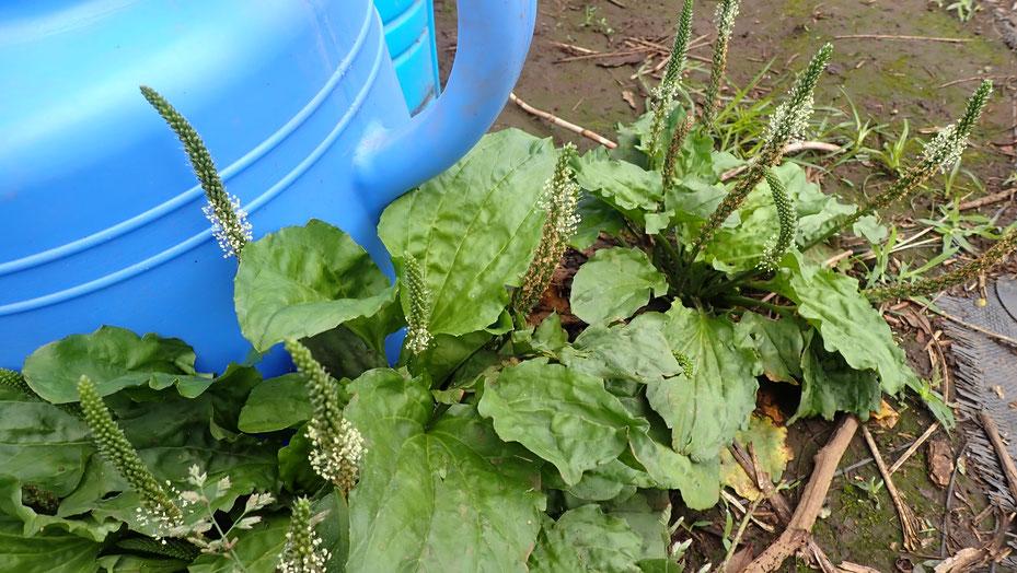 オオバコは大事な薬草です@さとやま農学校・すどう農園