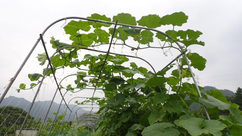 自然栽培のカボチャ・無肥料でもぐんぐん大きくなります。さとやま農学校