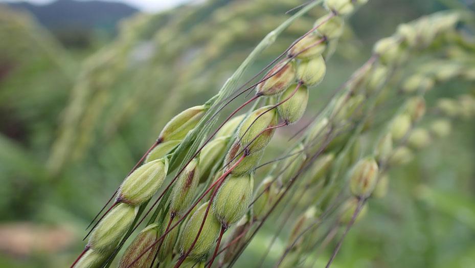 古代米の自然栽培@さとやま農学校・すどう農園