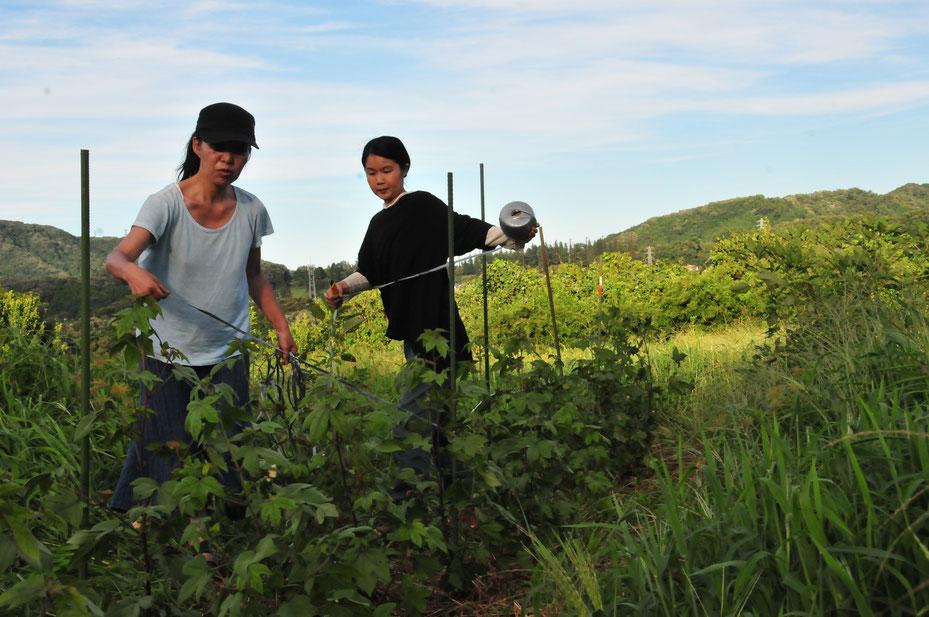 自然農法で和綿の無肥料栽培@すどう農園