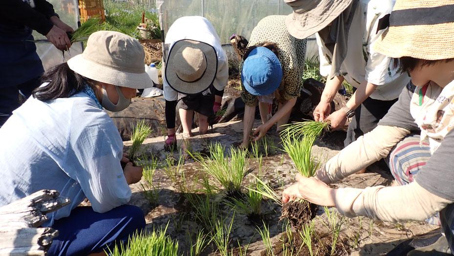 体験農園でビオトープをつくって田植え@さとやま農学校