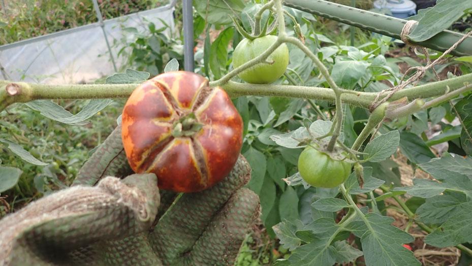 イタリアから来た固定種のトマト@さとやま農学校・すどう農園