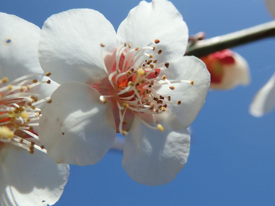 無農薬自然栽培の梅