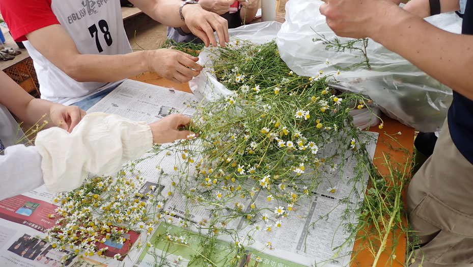 カモミールの収穫体験@さとやま農学校・すどう農園