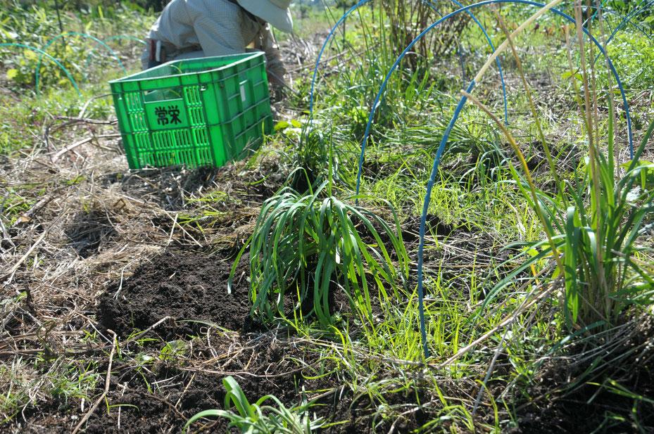 ニラ 自然栽培 固定種 農業体験 体験農場 野菜作り教室  さとやま農学校