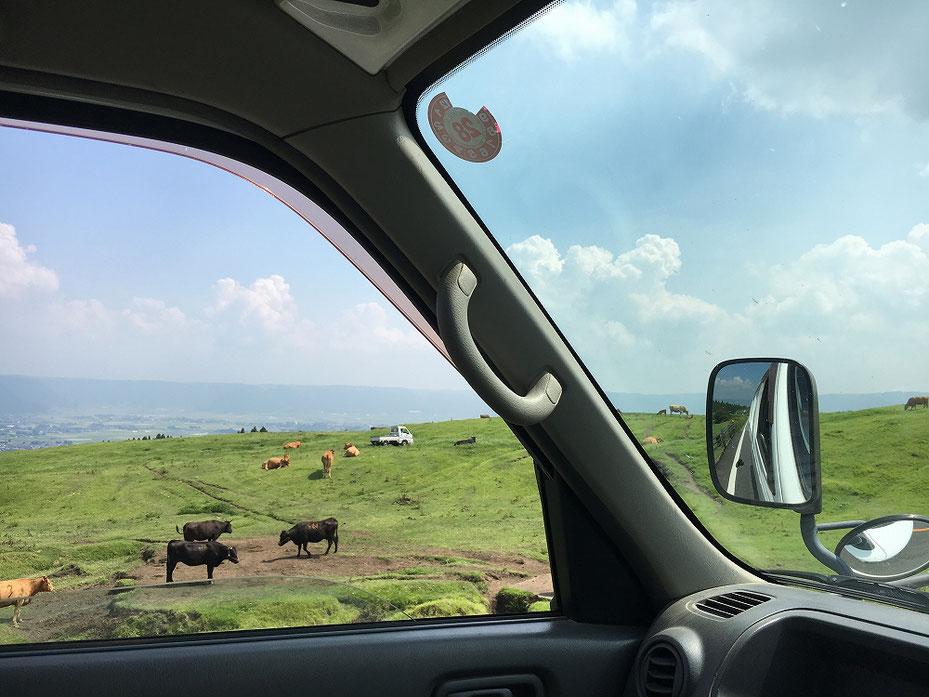 河口へ向かう道のわきに居る牛