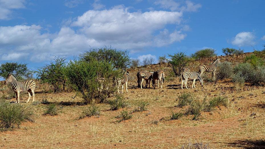 Zèbres aux aguets, désert du Kalahari, photo non libre de droit