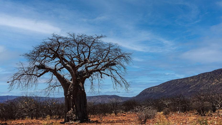 Arbre du Kaokoland, Namibie, photo non libre de droits