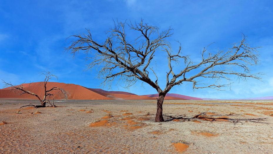 Arbres torturés, Dunes du Namib, photo non libre de droits