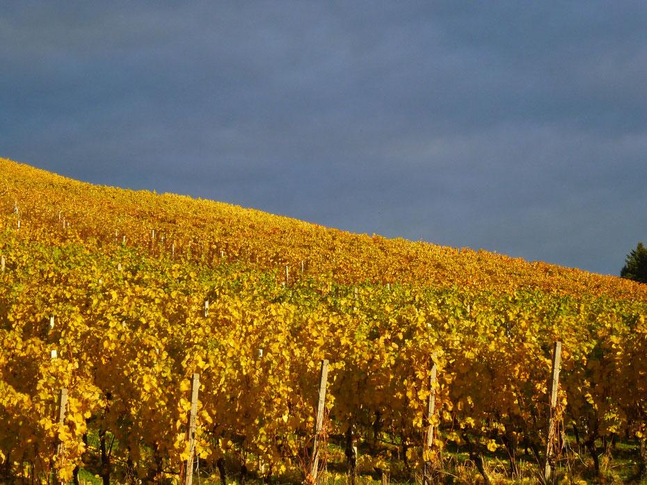 Weinfeld im Herbst