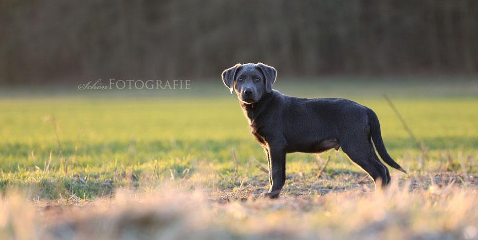 Hunde Shooting Fotograf Berlin Labrador