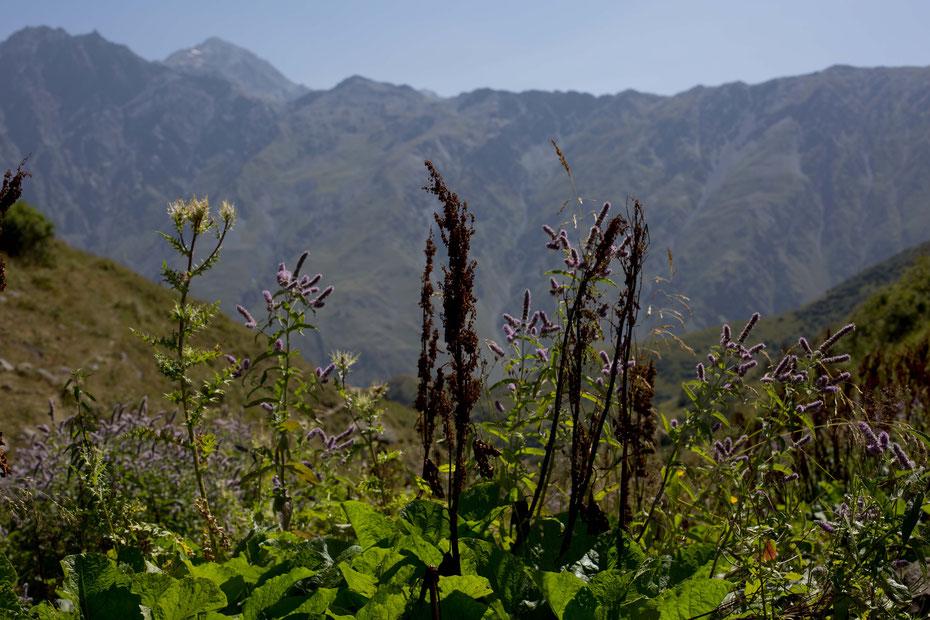 An abundance of mountain flowers, Kazbegi, Georgia