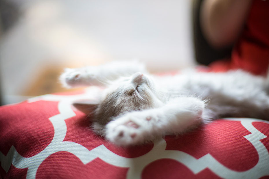 Das Bild zeigt ein Kitten welches auf dem Rücken liegt und die Vorderpfoten entspannt über das Köpfchen streckt, gezeigt. Für mehr Information lese bitte den Bild-Untertitel.