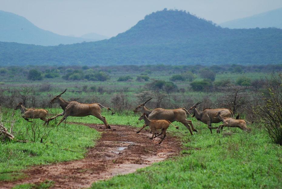 Antilopen Mkomazi Nationalpark