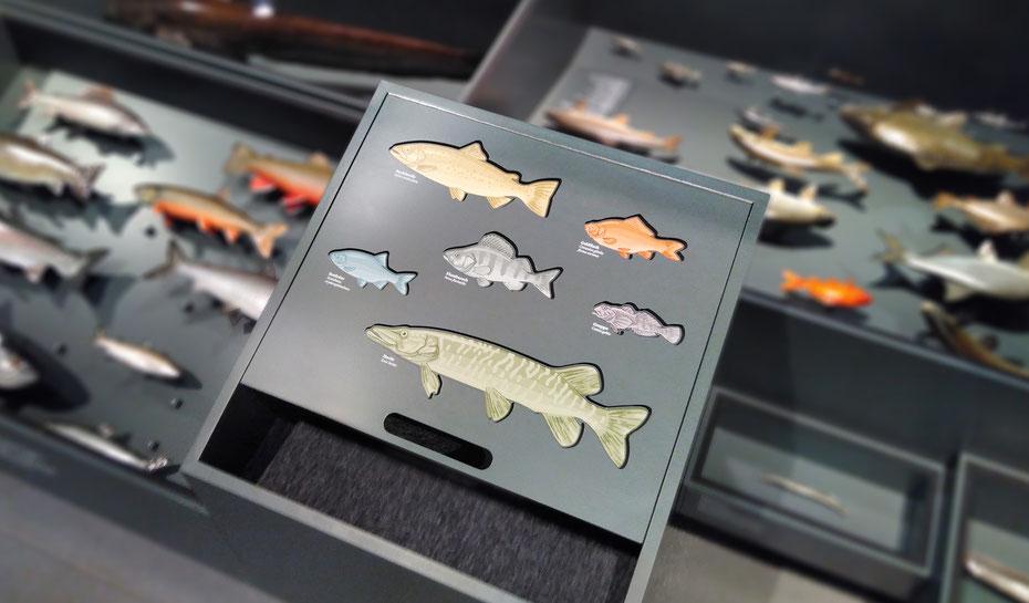 Eine von über 60 Illustrationen im Naturmuseum St. Gallen: ein Spiel für Kinder mit sechs Fischarten © Michael Stünzi