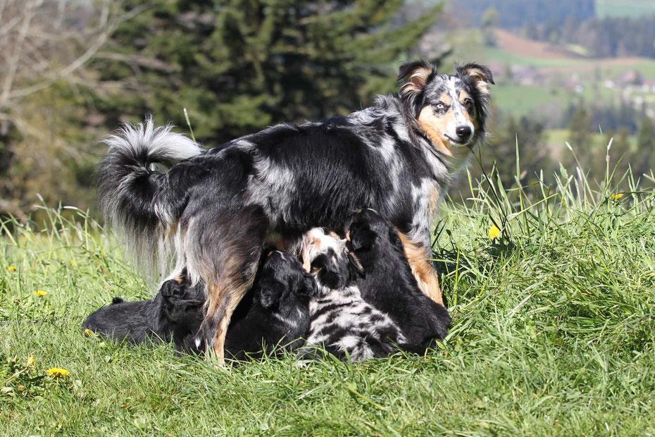 Herzlich Willkommen Bei Unserer Kleinen Familiaren Mini American Shepherd Mini Aussie Liebhaberzucht Im Emmental In Der Schweiz Charming Miniamericans Webseite