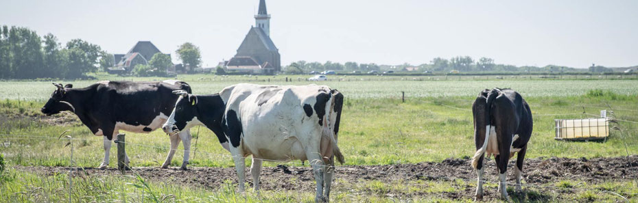 """<img src=""""image.jpg"""" alt=""""Koeien van de Novalishoeve bij Den Hoorn op Texel in de weide"""">"""