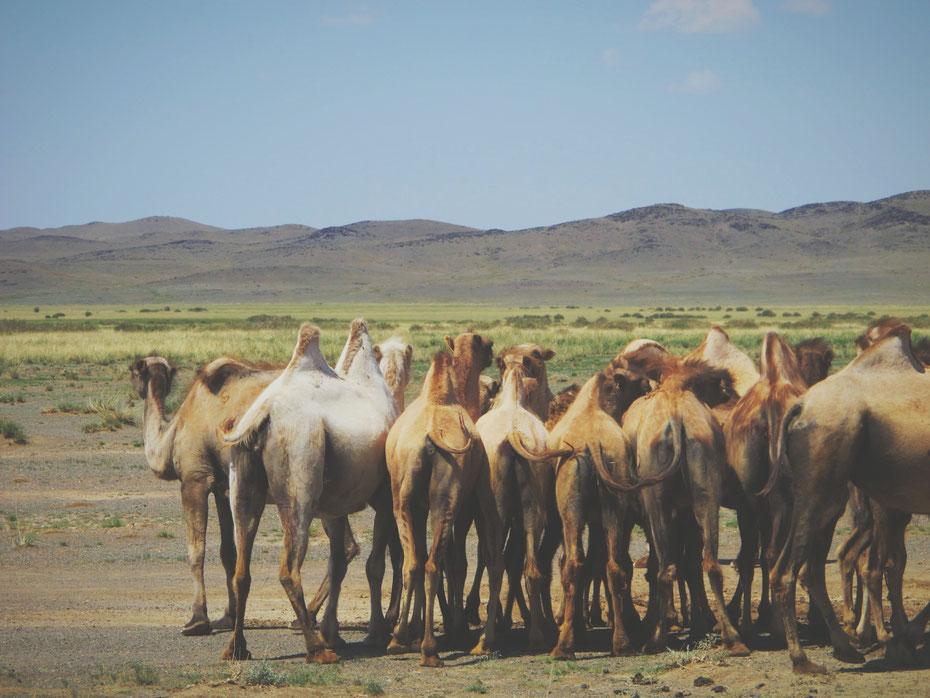 bigousteppes mongolie désert chameaux
