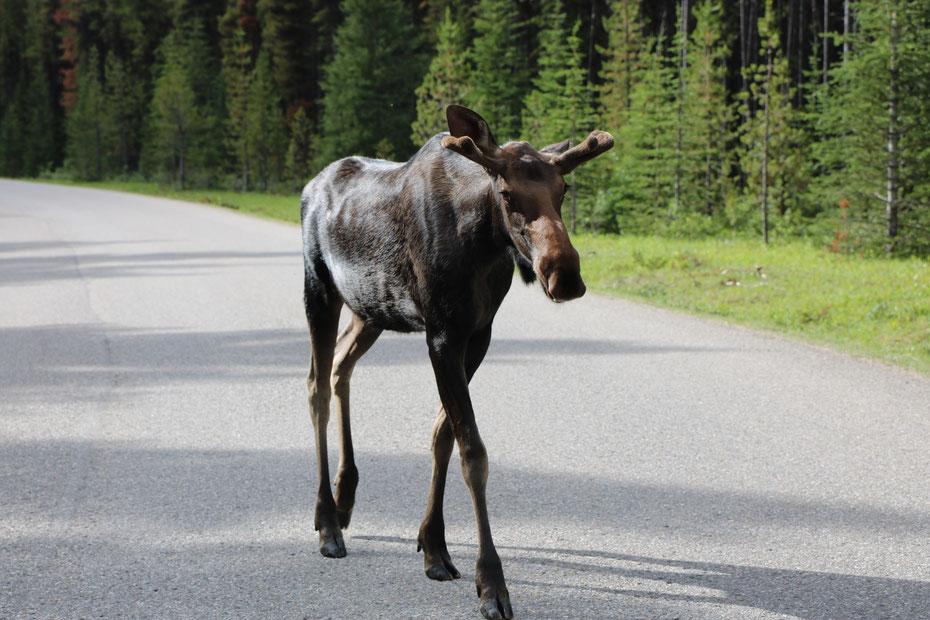 Orignal sur la route du Lac Maligne dans le Jasper National Park (Alberta - Canada)