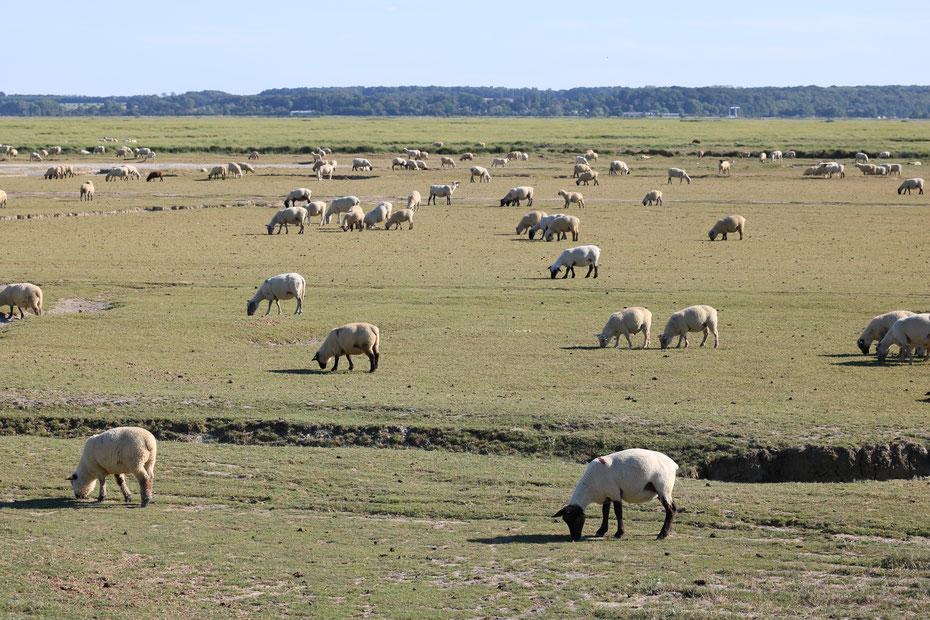Baie de Somme, agneaux de prés salés, mollières