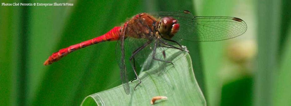 Une demoiselle libellule rouge, photo prise par Cloé Perrotin de l'Entreprise Illustr'&Vous