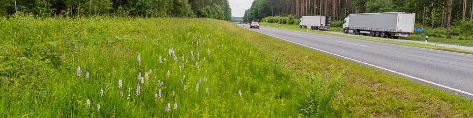 Reichhaltiger Bestand von Fuchs-Knabenkraut (Dactylorhiza fuchsii) an einer stark befahrenen Bundesstraße