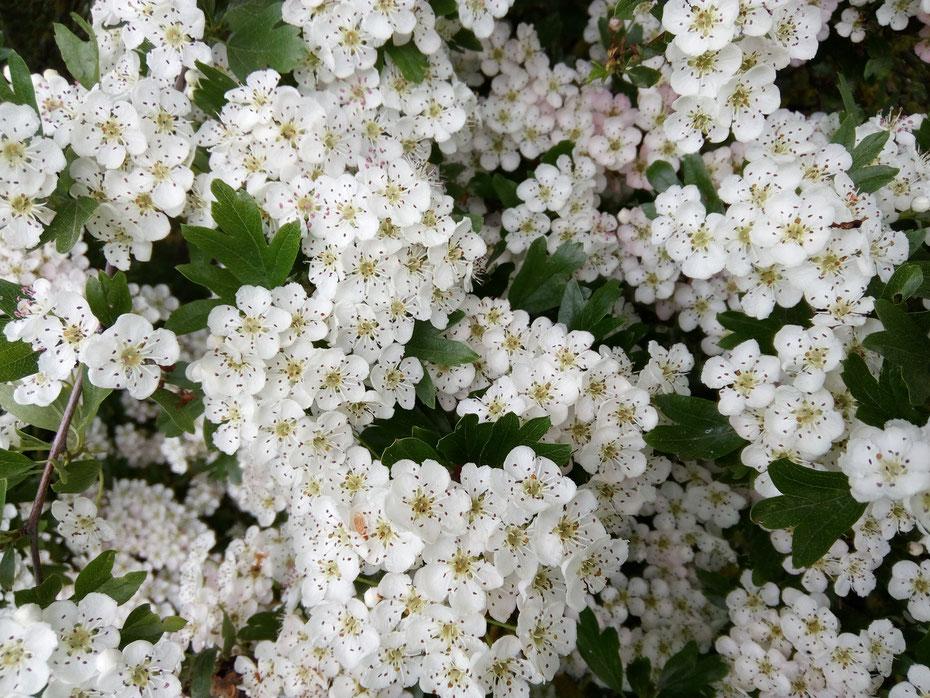 Blüte Leben Gesundheit Heilmittel weiße Blüten Landschaften Dorf naturnah
