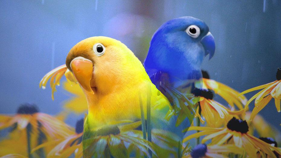 inséparables jaune et bleu, miméthik mars 2017