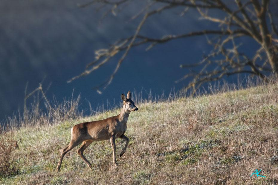 Reh am frostigen Morgen, Val D'Orcia, Toskana, D500 & AF-I 400mm 1:2,8 & AF-S TC-20E III  |  800mm  |  Blende 5,6  |  1/2000s.  |  ISO 800