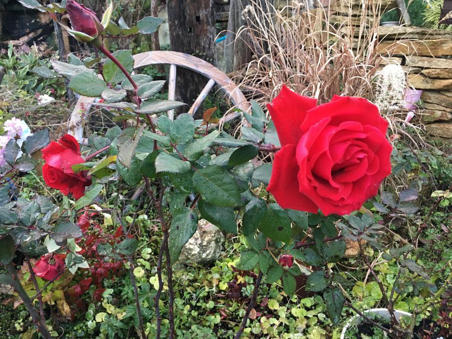 バラのある暮らし 広島