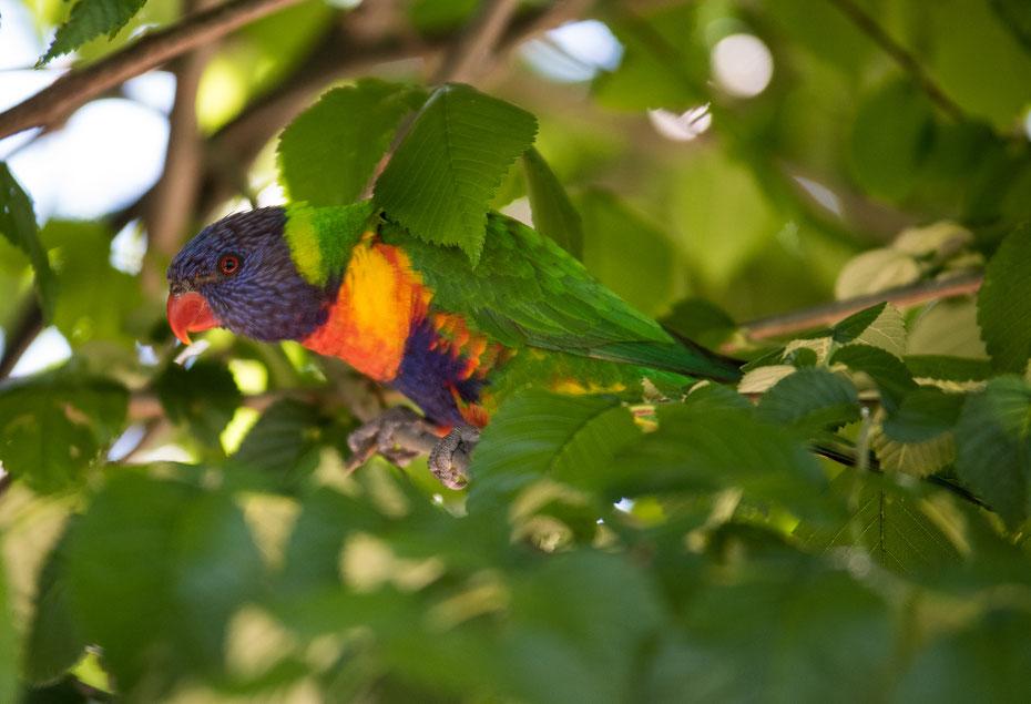 Farbenfroh - die Lories sind unter anderem in Australien heimisch und sind mit ihrem bunten Federkleid ein echter Hingucker.