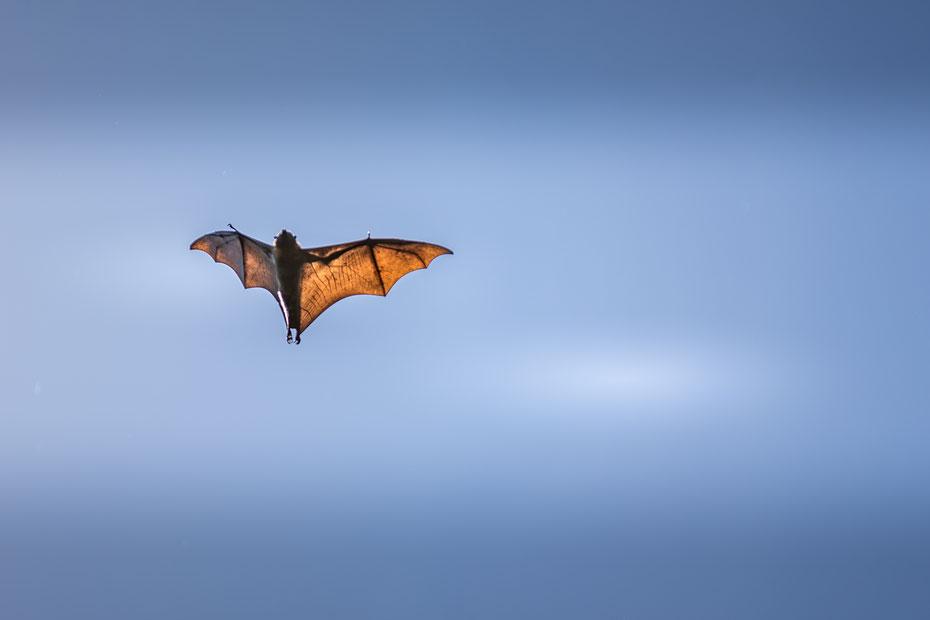 Batman - wahrlich beeindruckend sind die australischen Flughunde im Zoo von Adelaide. Mit einer Spannweite von etwa einem Meter, den spitzen Zähnen und dem Gekreische bekommt man beim ersten Anblick schon einen Schrecken ;-)