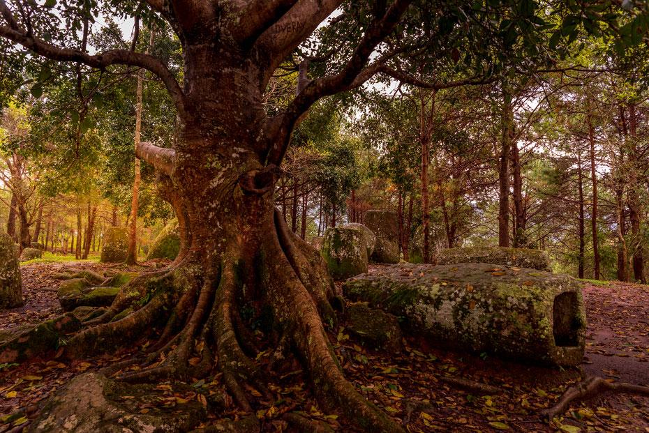 Die Plain of Jars Site 2 liegt auf zwei gegenüberliegenden Hügeln versteckt im Wald. Der kleine Wald erinnerte mich etwas an den Tomb Raider Tempel in Siem Reap.