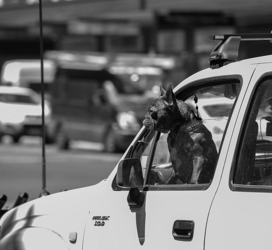 Grumpy Dog! Keine Sorge, der miesgelaunte Hund fährt nicht selbst sondern sitzt auf dem Beifahrersitz seines Herrchens und genießt den Fahrtwind in Adelaide.