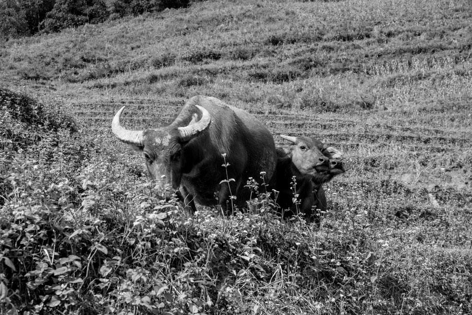 Do not disturb - während der Wanderung durch die Terrassen-Reisfelder trifft man oft auf die Wasserbüffel. Respekteinflößend aber mit etwas Sicherheitsabstand darf man passieren und die Büffel widmen sich wieder dem Fressen zu.