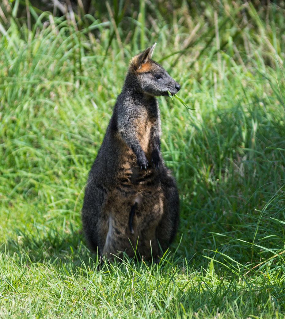 Ein dunkel gefärbtes Wallaby beim Frühstück am Cape Otway Lighthouse an der Great Ocean Road. Die Wallabys sind an die Touristen gewöhnt und lassen sich in ihrer morgendlichen Routine nicht stören.