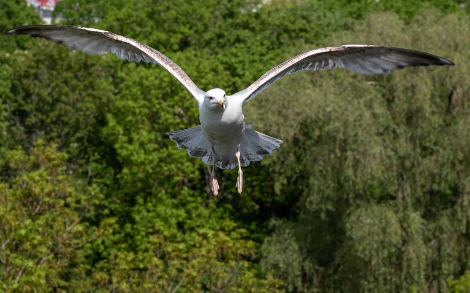 Eine Seemöwe bereitet die Landung auf der Stadtmauer von Tallinn vor. Die Vögel lassen sich auch von den vielen Touristen in der estischen Hauptstadt nicht stören.