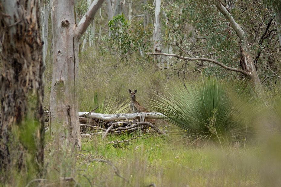 Nach dem die kleine Känguruh Familie kurz für mich posiert hatte, verzogen sich die drei wieder zurück in den Wald.