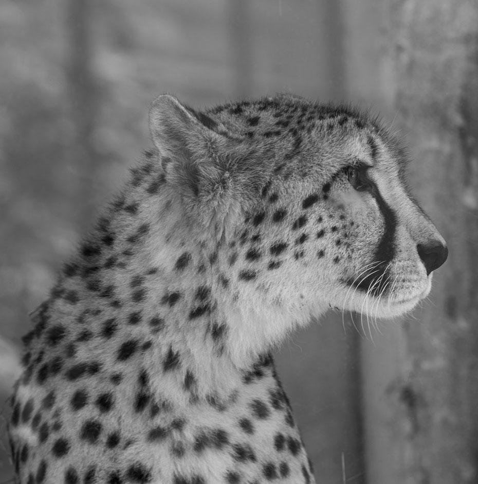 Cheetah Portrait - der Acinonyx jubatus posiert majestätisch für ein Portrait im Tiergarten Schönbrunn. Wenn es auf die Jagd geht ist der Gepard das schnellste Landraubtier und beschleunigt auf unglaubliche 120 km/h!