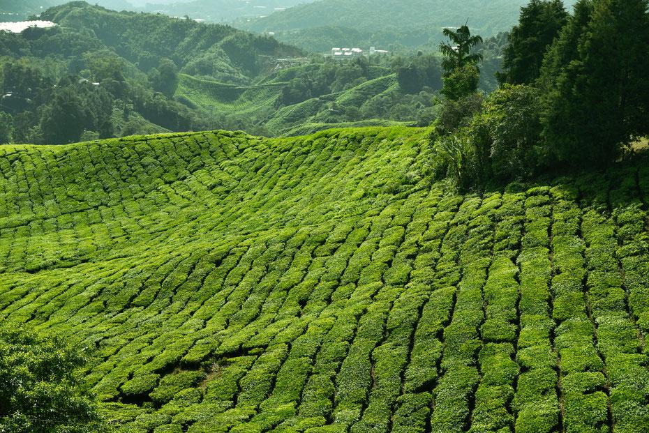 Unendliche Weiten in den Cameron Highlands. Neben Tee werden erstaunlicherweise auch Erdbeeren in den Höhenlagen angebaut.