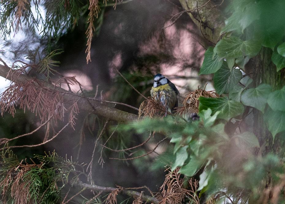 Cyanistes caeruleus - ein oft gesehener Gast in europäischen Gärten ist die Blaumeise. Mit dem 300er Nikkor kann ich die kleinen Vögel in Nachbars Garten bequem vom Balkon aus beobachten.