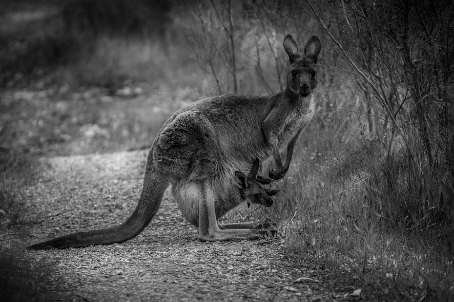 """Family Portrait - unsere Wanderung im Kaiserstuhl Conservation Park mussten wir kurz unterbrechen als die Känguruh-Dame mit ihrem Kleinen über den Wanderweg sprang, kurz innehielt, als ob sie sagen wollte """"hey Mate, that's the chance for a nice pic of us"""""""